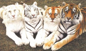 multiple big cats